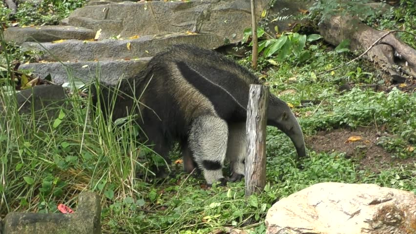 Giant Anteater looking for food