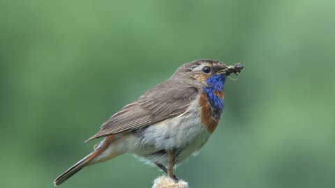 Bird Bluethroat (Luscinia svecica) male caught an insect for its chick, sits on the cattail and tweets