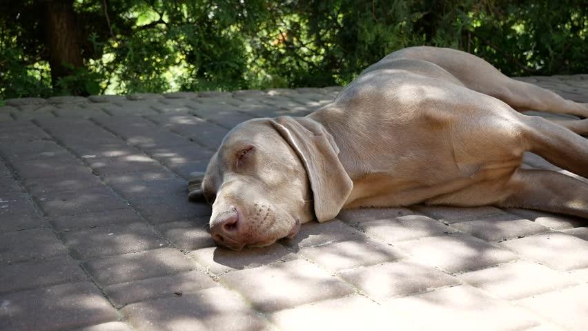 Resting happy pointing dog german Weimaraner