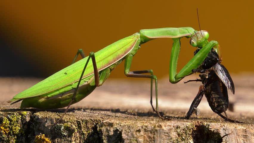 Praying mantis eating cricket graphic closeup | Shutterstock HD Video #33085183