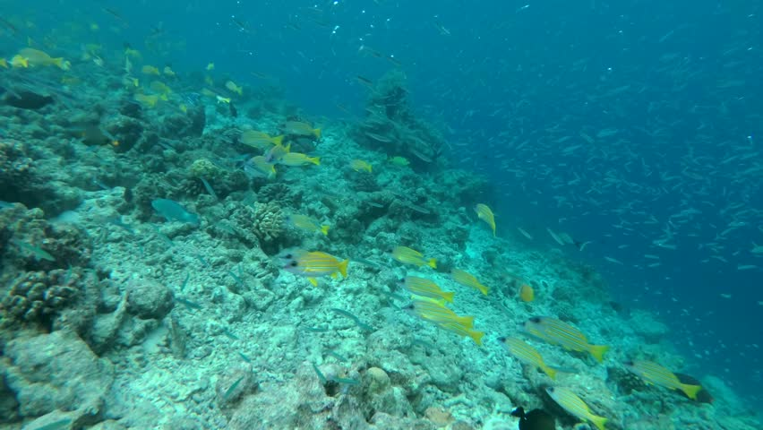 A large school of Whitebait or Blue Sprat - Spratelloides delicatulus in the blue water over coral reef, Indian Ocean, Maldives #33092743