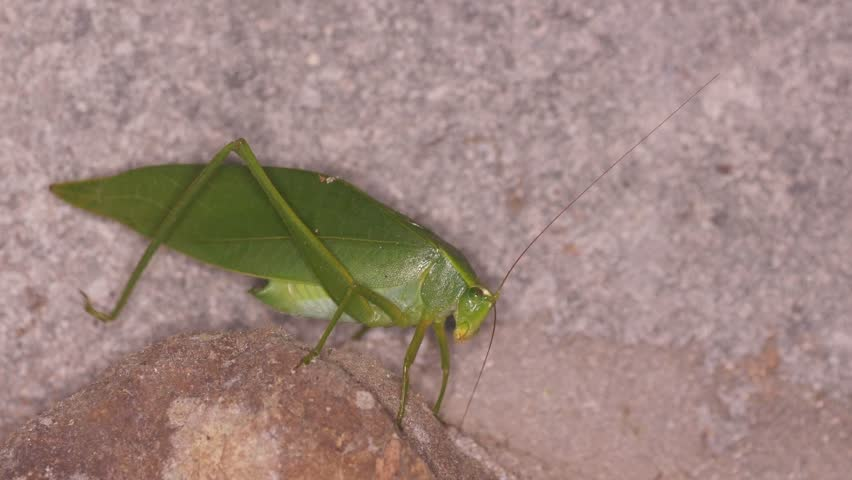 a green katydid is moving on the rock