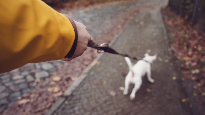 POV: Dog Walking on a Leash on a City Street. SLOW MOTION 120 FPS, STABILIZED SHOT. Point Of View: Woman hand holding a leash. Cute Jack Russell terrier running in autumn city.