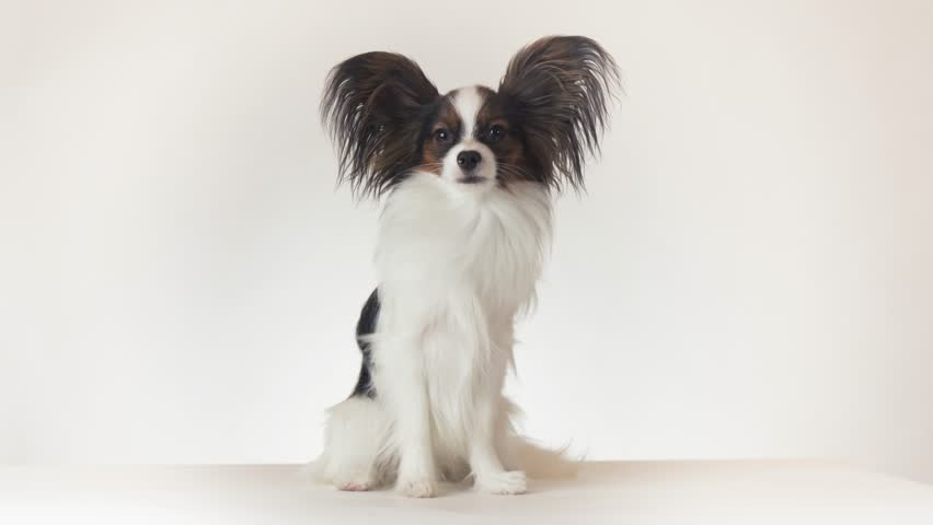 Beautiful young male dog Continental Toy Spaniel Papillon sits and looks around on a white background stock footage video | Shutterstock HD Video #33250093