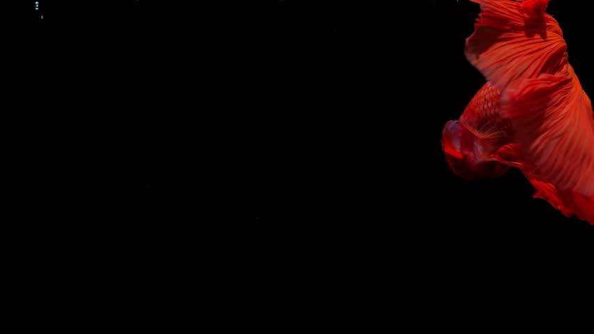 Slow Motion Halfmoon Betta fish on black background.