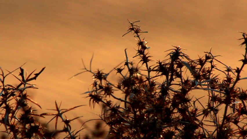 Dry bush thorns on the background of sand dunes