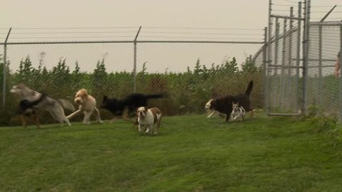 A group of dogs run across a grassy yard towards the camera in a chaotic pack.