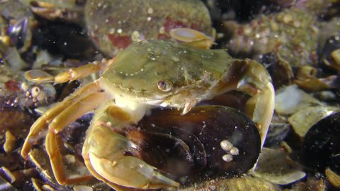 Swimming crab (Liocarcinus holsatus) takes meat from the shell of the mussel.