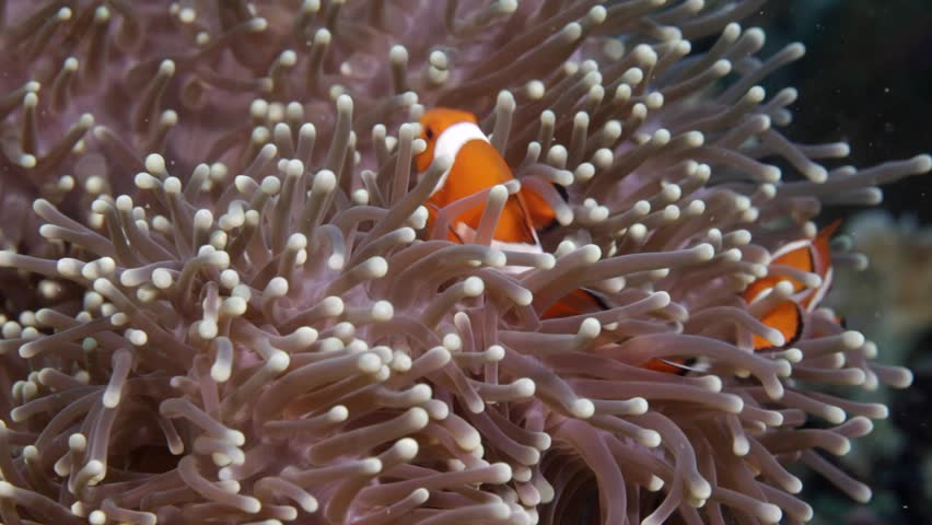 Nemo clown fish in the anemone on the colorful healthy coral reef. Anemonefish hiding underwater in it's host actinia. Scuba diving coral reef scene with nemo and anemone.   Shutterstock HD Video #33355546