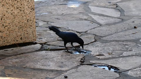 Black Bird Eating Barry on Stone Pathway at Park