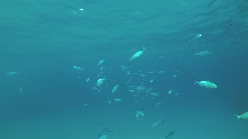 School of Fusilier swim under surface in the blue water. Lunar Fusilier (Caesio lunaris), Red sea, Marsa Alam, Abu Dabab, Egypt