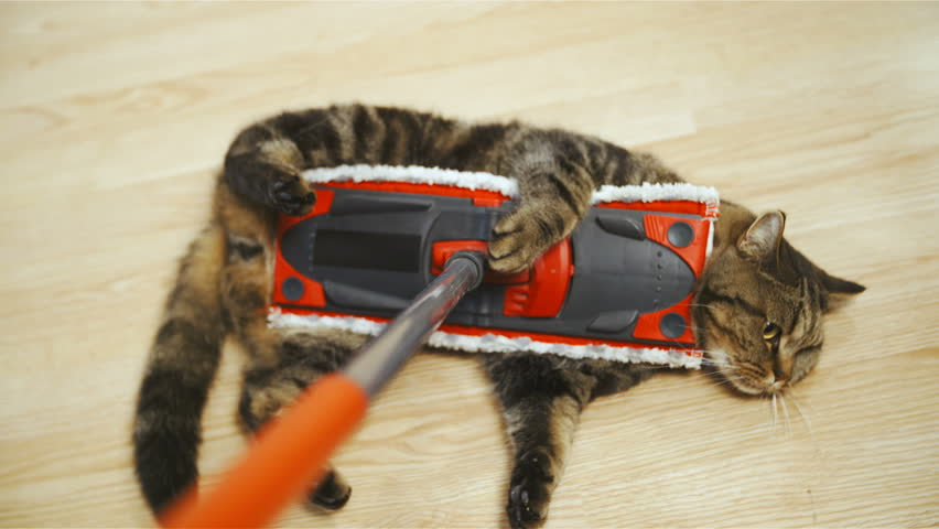 Cleaning floor with cute cat in slow motion 4K. Person point of view of British breed cat on the stick in focus while sliding on home floor cleaning dust. Cat doesn't care. | Shutterstock HD Video #33415963