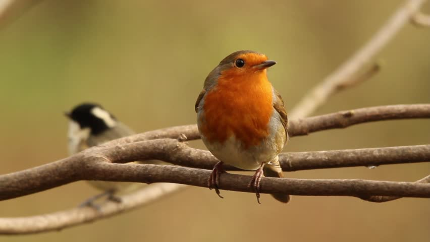 Robin resting on a branch before flying away | Shutterstock HD Video #33447013