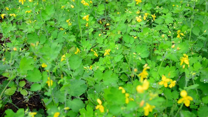 Yellow flowering celandine in rain drops
