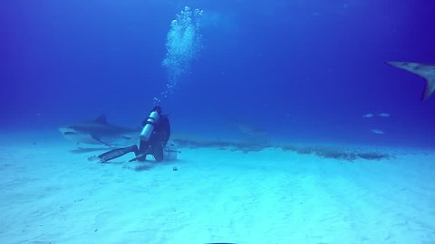 Big Bull Shark with divers underwater on sandy bottom of Tiger Beach Bahamas. Swimming with a predator Carcharhinus leucas in pure blue water of Atlantic Ocean.
