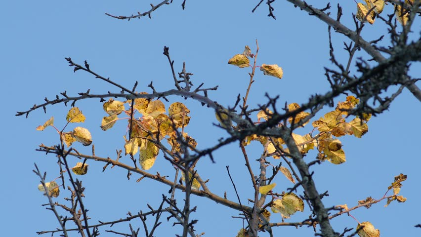 Panoramic view of autumn apple tree branch against blue sky, 4k footage | Shutterstock HD Video #33570313