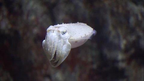 Small cuttlefish swimming in an aquarium