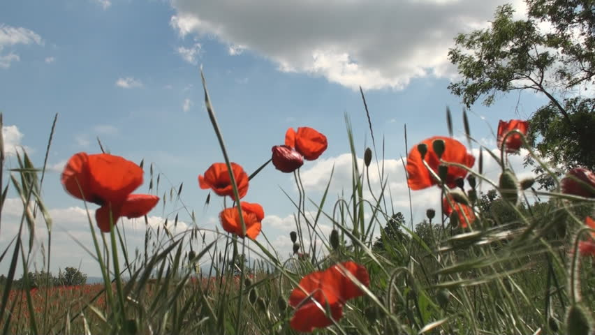 Poppy flowers swaying in the wind