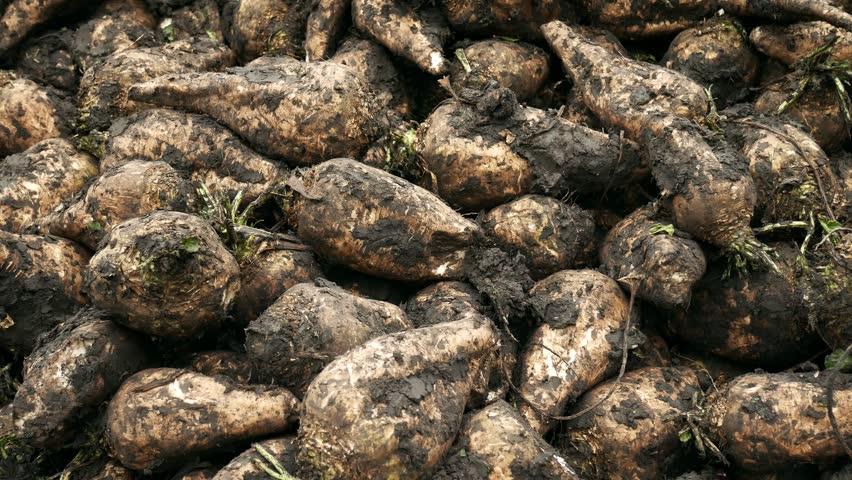 Harvested sugar beet pile on ground. Fresh sugar beets on field farm