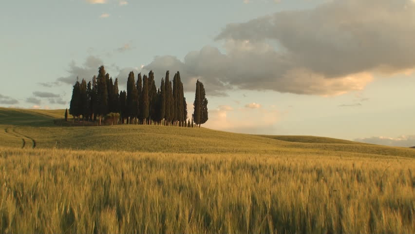 Group of cypresses as the sun starts to set in the Tuscan Val d'Orcia in the province of Siena