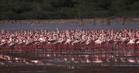 Lesser Flamingo, phoenicopterus minor, Colony at Bogoria Lake in Kenya, Slow Motion 4K