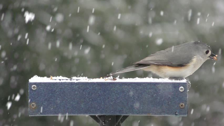 Male Eastern Bluebird (Sialia sialis) and Tufted Titmouse (Baeolophus bicolor) on a feeder in snow