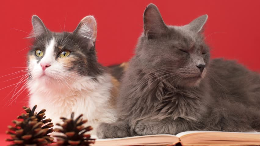 Close up portrait of a Nebelung cat and Turkish Angora cat lying next to an open book. Isolated on red background. Education, science, studying, learning concepts.