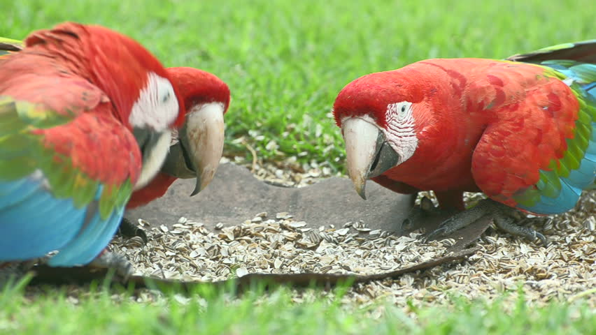 Three red macaws feeding of seeds on the ground. Bird from Brazil, also known as Arara Vermelha.