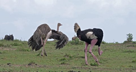 Ostrich, Struthio camelus, Male and Female,Courtship displaying before Mating, Masai Mara Park in Kenya, Real Time 4K