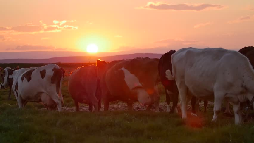 Herd of cows grazing in the dappled morning sunlight in a field in Iceland. cows in sunset. Modern farm barn with milking cows eating hay/Cows feeding on dairy farm/Cows in cowshed/Calf feeding far,