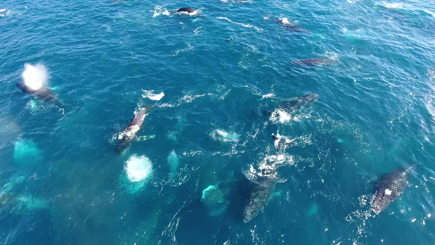 Drone circles slowly around huge pod of humpback whales
