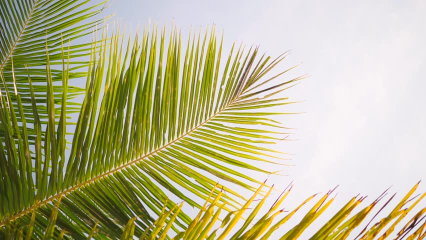 Tropical Background. Green Coconut Palm Leaves Against Blue Sky and Sun Rays. 4K. Thailand.