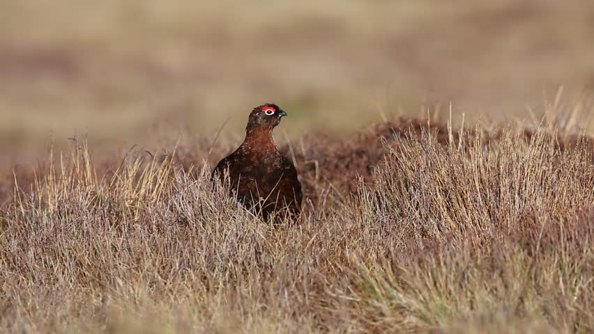 A stunning Red grouse (Lagopus lagopus) taking cover in the vegetation in the Highlands of Scotland on a very windy day.