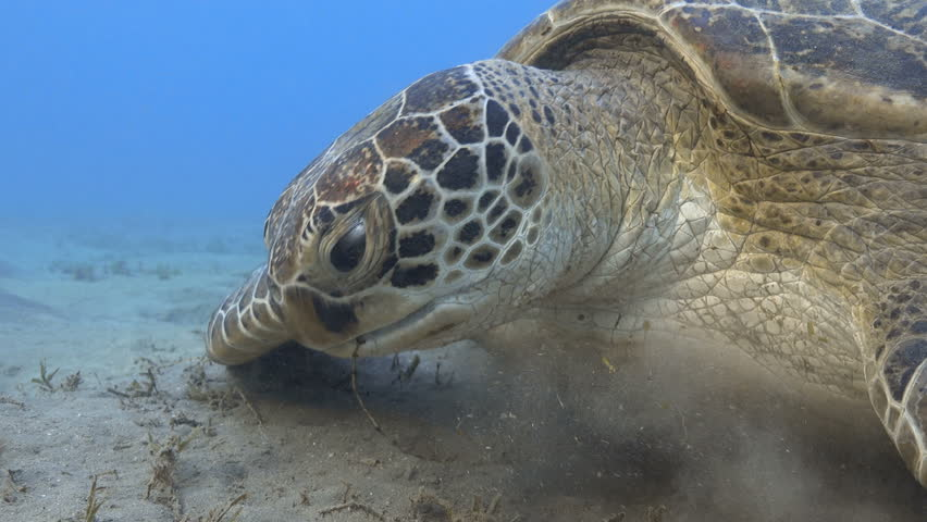 Green sea turtle feeding sea grass underwater close up, 4k UHD video footage