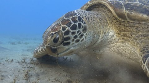 Green sea turtle feeding sea grass underwater close up, 4k UHD video footage