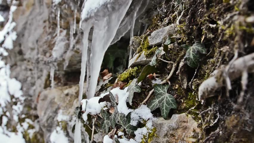 icicle and ivy