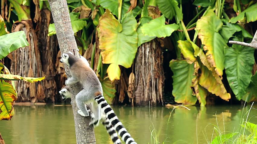 Ring-tailed Lemurs (Lemur catta) run along and play by jumping around on a branch in Madagascar. This is a large and endangered (near threatened) lemur species.