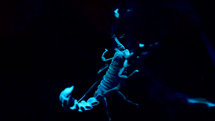 White and blue scorpion on black background. Bioluminescent scorpion under ultraviolet light at a zoo. Scorpion under ultraviolet light.