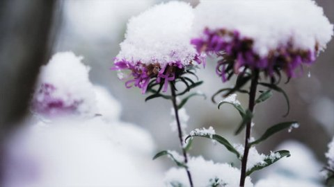 closeup slider motion on flowers under first snow and fallen snowflakes , interseasonal slow motion shot