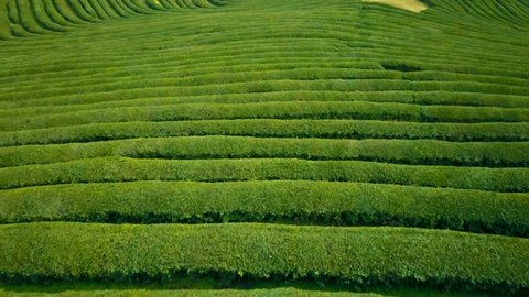 Aerial video of green tea plantation is locate nearby the hillside in Boseong city, South korea. Aerial video from drone.