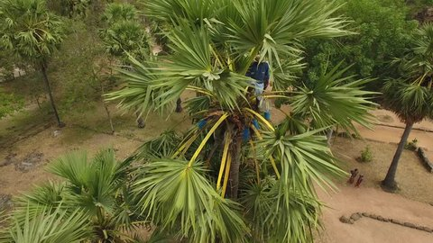 Aerial view of coconut tapper extracting juice from a palm tree near Ta Prohm Temple - Angkor, Cambodia,Tonlé Bati