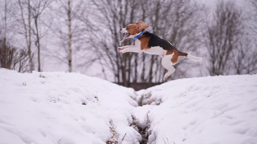 Funny playful young beagle dog jump over snowy trench, holding wooden stick in mouth. Slow motion shot, clumsy animal play fetch game, return to owner and skip pit. Long ears fly in air