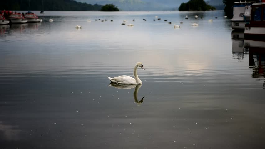 LAKE WINDERMERE IN BOWNESS, LAKE DISTRICT - Windermere swans and ducks. Windermere, UK.  July 2016