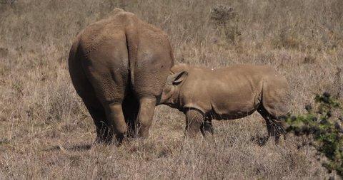 White Rhinoceros, ceratotherium simum, Mother and Calf Suckling, Nairobi Park in Kenya, Real Time 4K