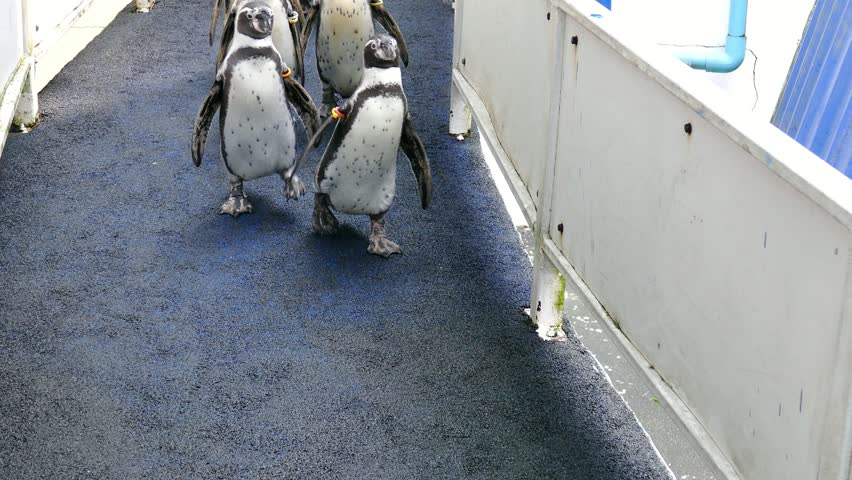 Humboldt Penguin (Peruvian Penguin) walking in the zoo.