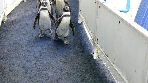 Humboldt Penguin (Peruvian Penguin) walking in the zoo.