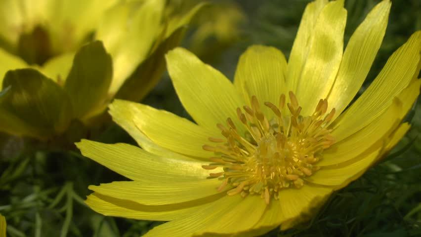 Spring: yellow flowers of pheasant's eye (Adonis amurensis).