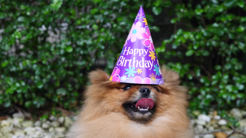 Funny Pomeranian Dog In Birthday Party Hat Closeup 4K