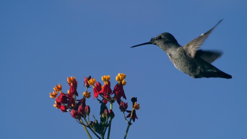 Hummingbird Hovering On Milkweed Flowers Slow Motion 2000fps