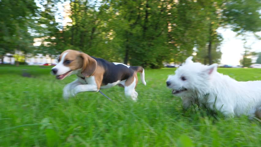 Short moment of two dogs playing, white terrier pursue young beagle, slow motion shot. Doggy rush on grass, typical funny active doggy recreation. Long ears fly in air, open jaws and clumsy jumps #34160173